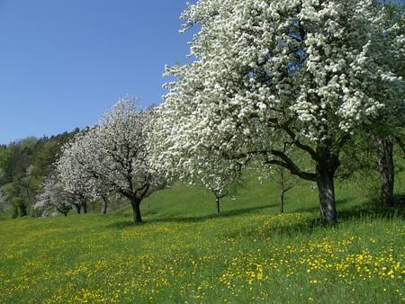 Blühender Hochstammobstgarten