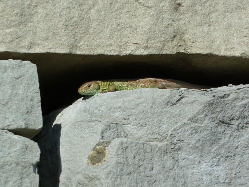 Una Lucerta agilis in un muro a secco costruito da poco