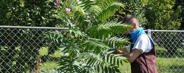 Zivi am Bekämpfen eines Götterbaum-Jungwuchses
